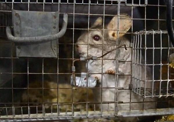 Sharon Osbourne révèle la cruauté de l'industrie de la fourrure de chinchilla