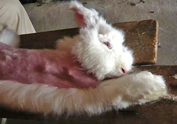 Engagez-vous à ne jamais acheter de fourrure angora !