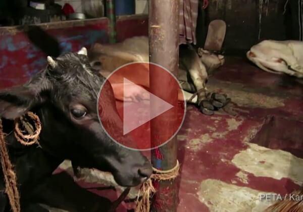 Le cuir : un enfer pour les animaux et les enfants au Bangladesh