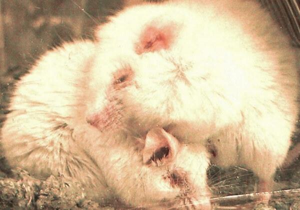 Aidez à mettre fin aux tests évitables de produits chimiques sur les animaux dans l'UE