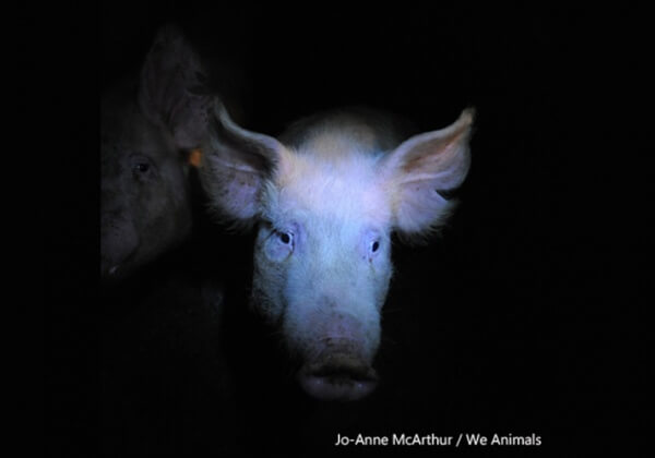 Demandez au Danemark et à la Norvège de cesser de démembrer et de tuer des animaux durant des exercices d'entraînement militaire