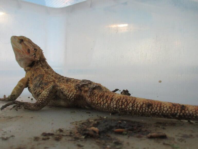 L'horrible commerce des reptiles de compagnie