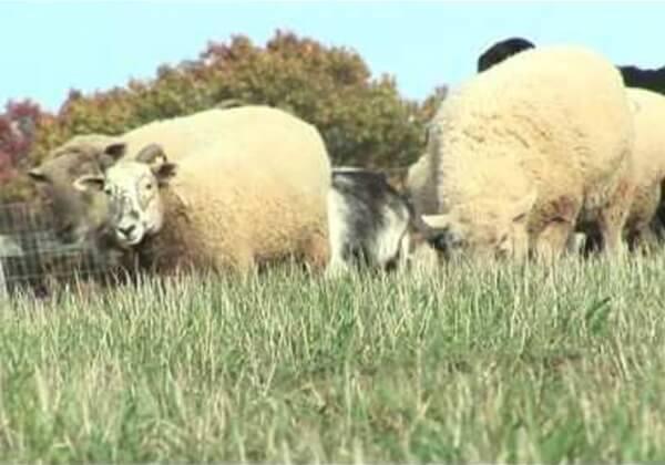 Révélations : des agneaux mutilés, des moutons battus à coup de pied et de tondeuse électrique dans un élevage lainier en Argentine