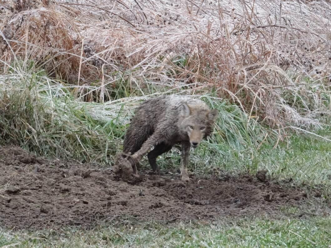 coyote piège machoire acier fourrure