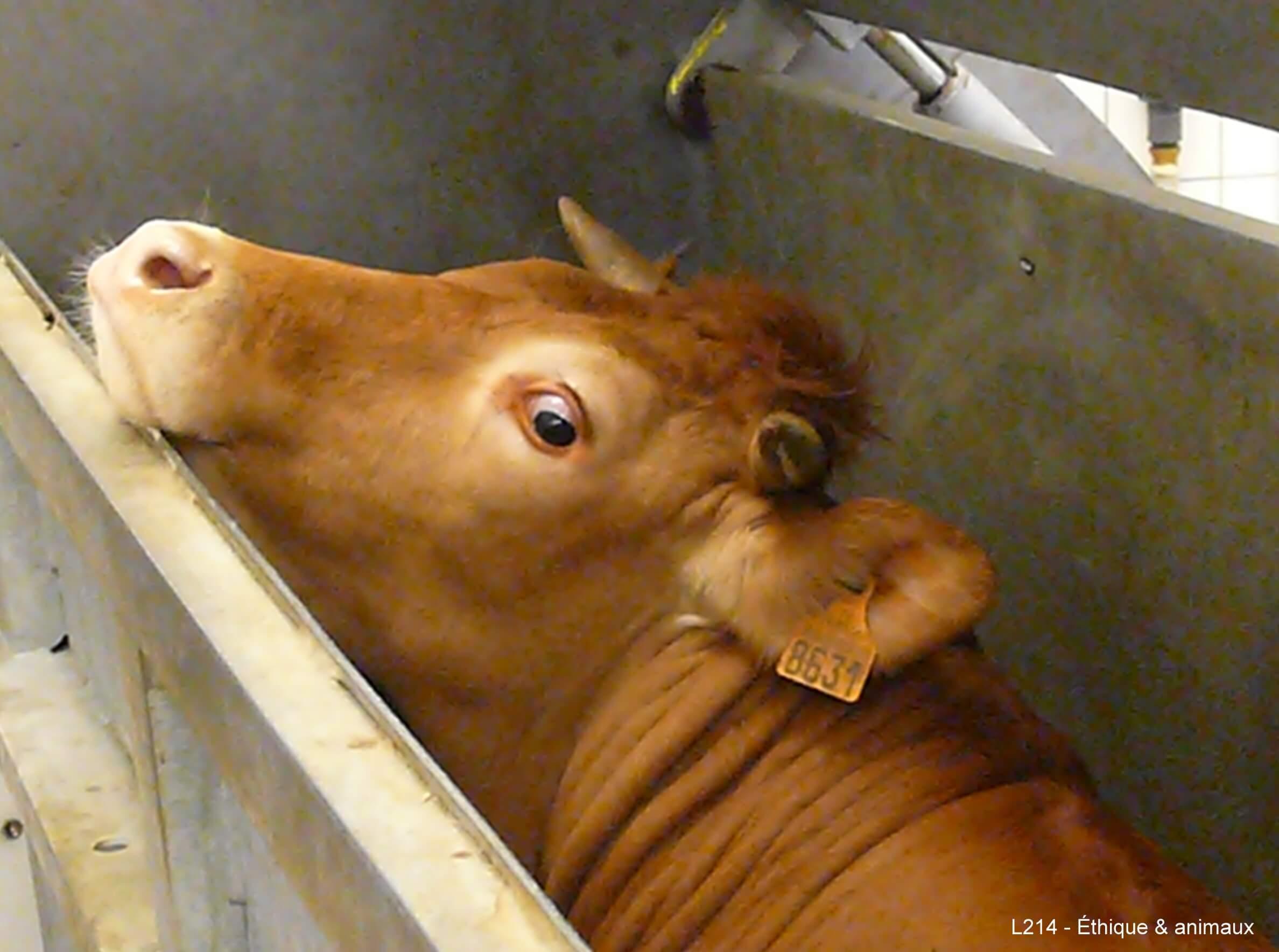 vache abattage france