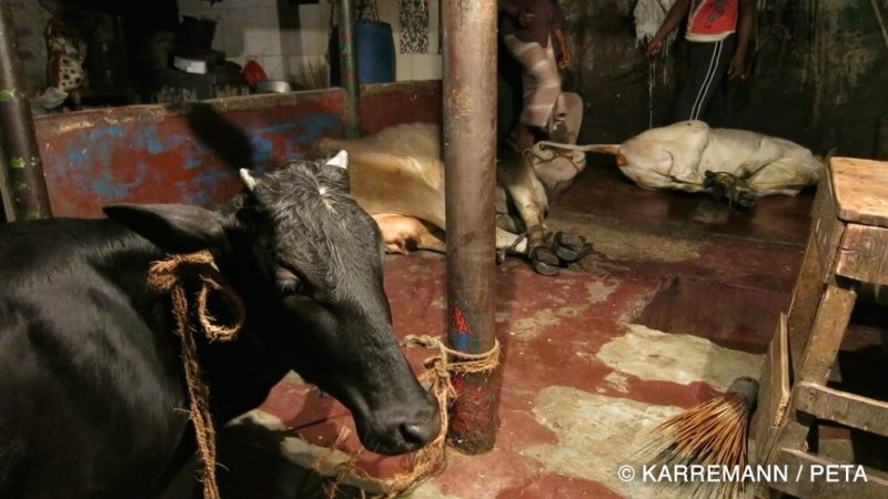 cuir bvache bangladesh abattage