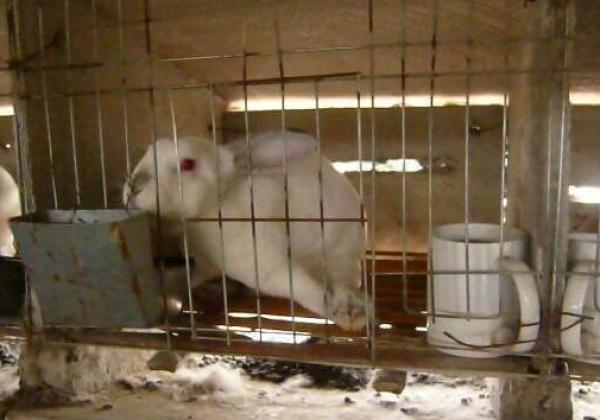 Des lapins frappés, suspendus et dépecés vivants dans l'industrie chinoise de la fourrure
