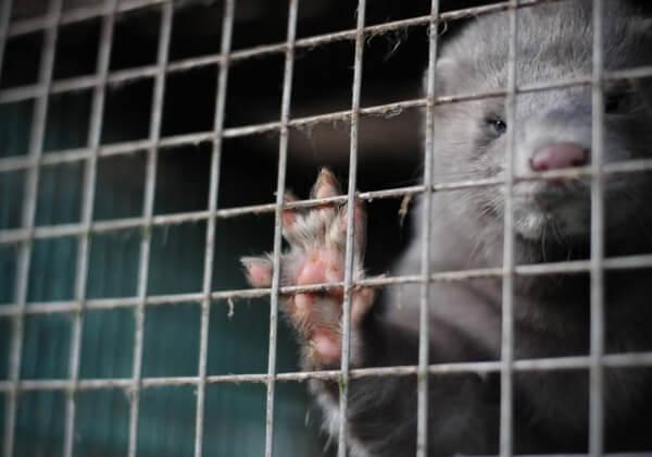 Cinq minutes de votre temps pourraient contribuer à faire interdire la vente de fourrure au Royaume-Uni !