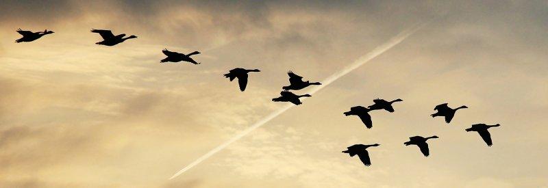 migration oies sauvages duvet
