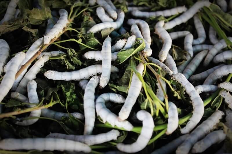 silkworm-931555_1280
