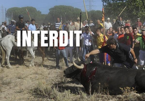 VICTOIRE : C'est la fin du « Toro de la Vega », l'infâme festival où des taureaux étaient tués à la lance !