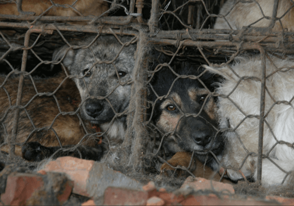 Des animaux comme ceux du festival de Yulin ont besoin de votre aide