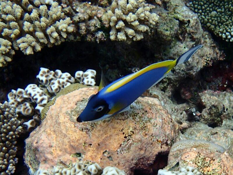 surgeonfish-492660_1280