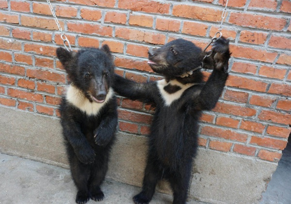 Des oursons et des lions battus, enchainés et démunis dans l'industrie chinoise des cirques