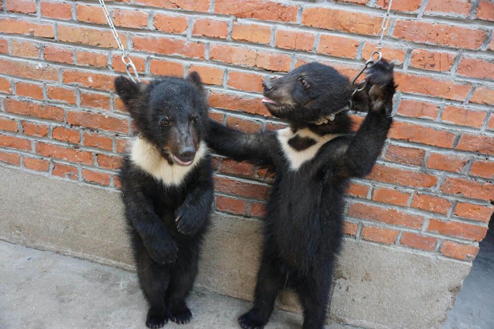 Des oursons et des lions battus, enchaînés et démunis dans l'industrie chinoise des cirques