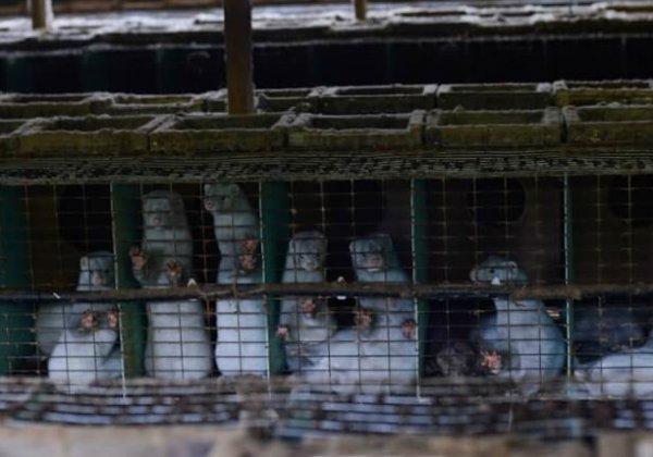 Demandez à l'Irlande d'interdire les élevages d'animaux à fourrure !