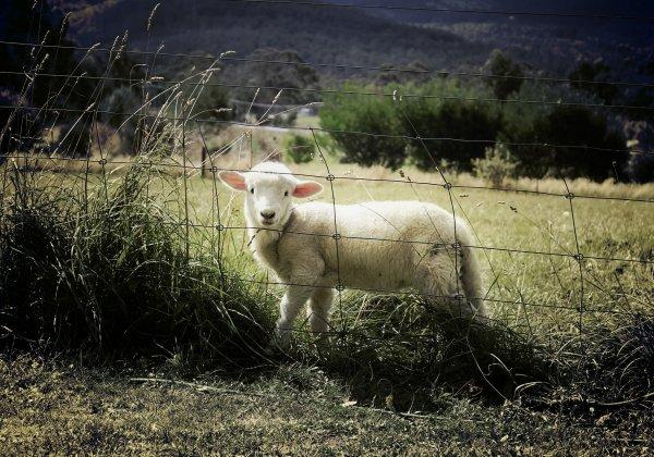 10 choses que l'industrie de la laine préfèrerait taire