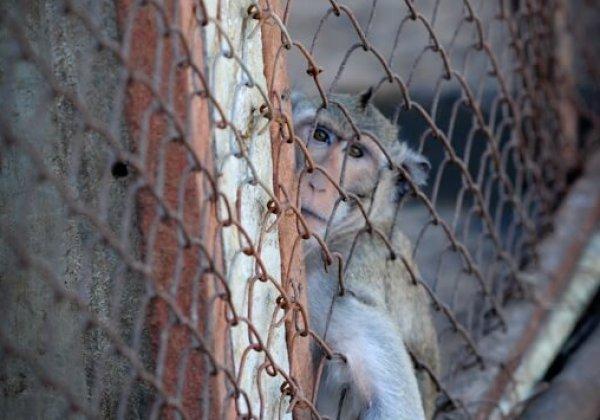 élevage singe laboratoire cage