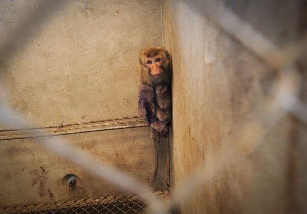 La Commission européenne va-t-elle agir efficacement pour mettre fin aux expériences sur les primates ?