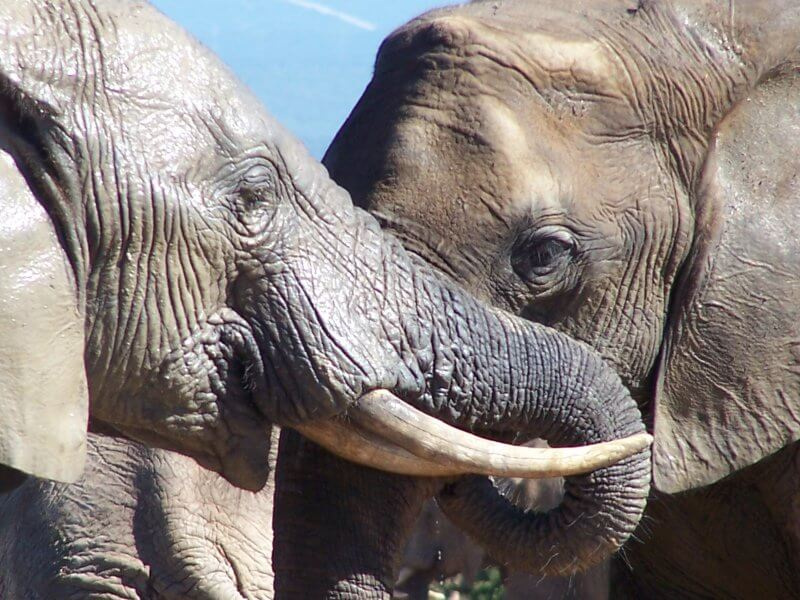 éléphants afrique libres
