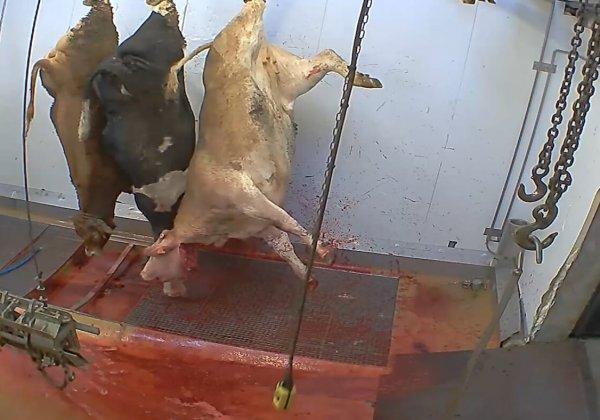 De combien d'enquêtes dans les abattoirs avons-nous besoin avant d'ouvrir les yeux ?