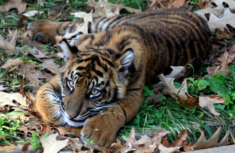 tigre bébé