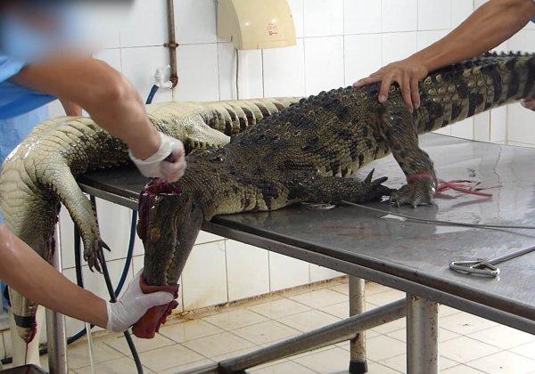 Au Vietnam, des crocodiles se font inciser et dépecer pour des sacs en cuir