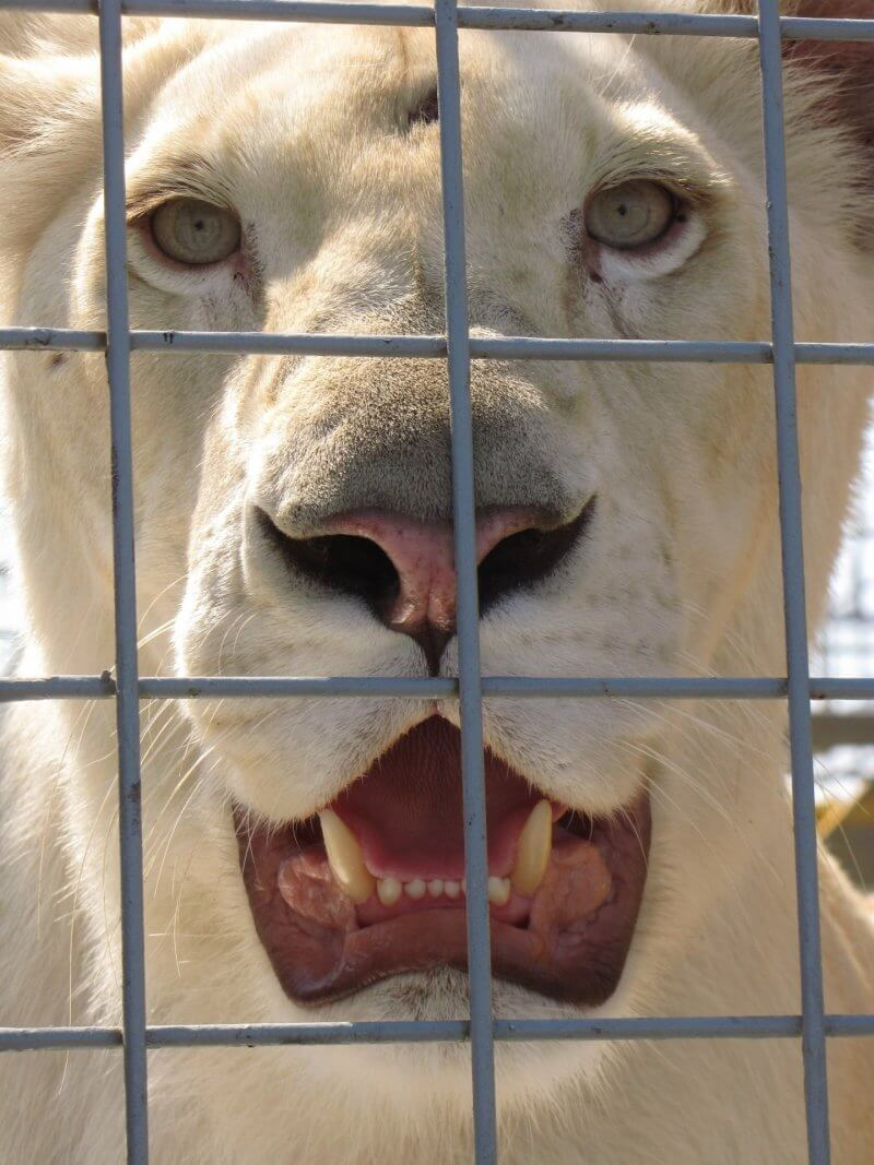 lion cirque