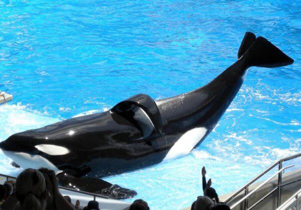 Tilikum, l'orque la plus exploitée de SeaWorld est morte