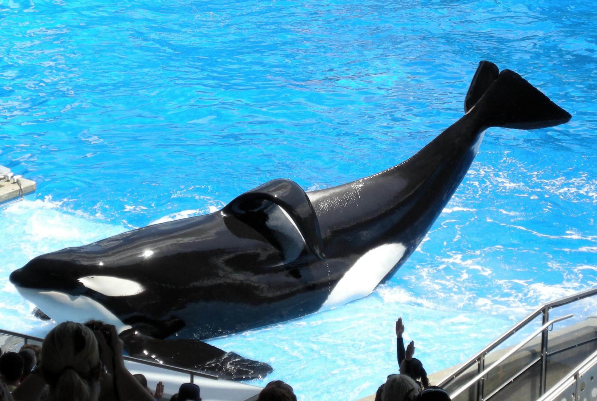 Image D Orque tilikum, l'orque la plus exploitée de seaworld est morte