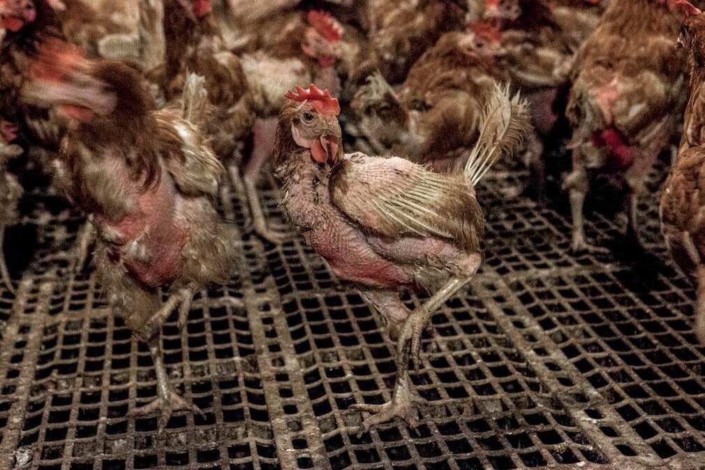 Plein-air ? PETA révèle l'élevage des poules tel qu'il est.