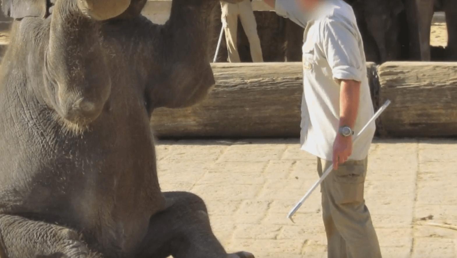 Le Zoo de Hanovre torture des bébés éléphants  : agissez pour les animaux prisonniers