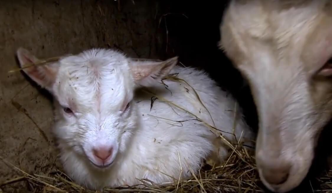 Les souffrances des chèvres dans un élevage laitier bio