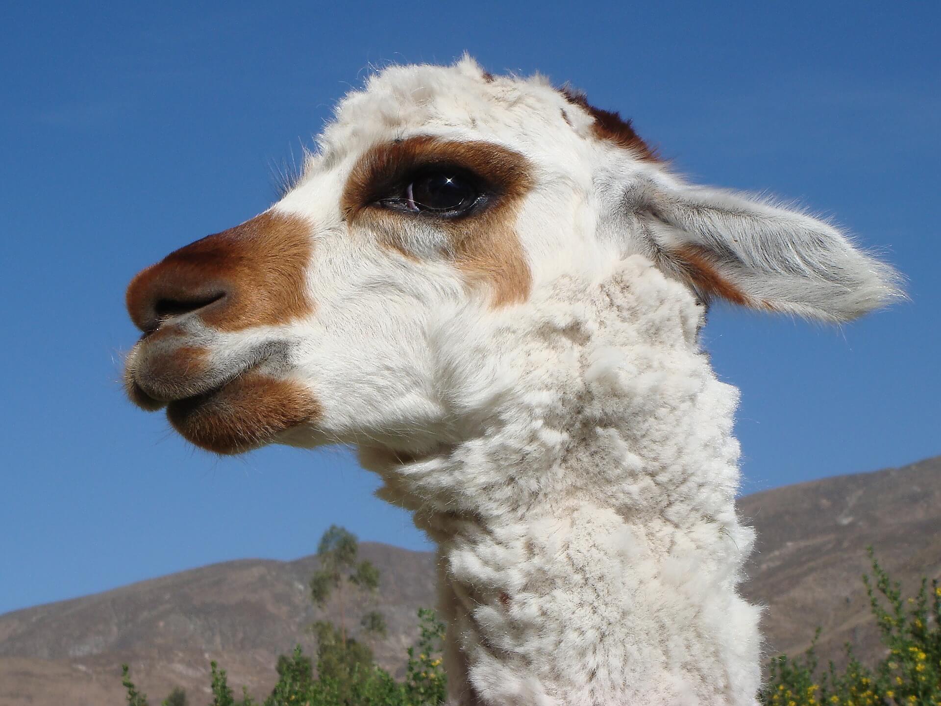Excellente nouvelle : Valentino arrête la laine d'alpaga !