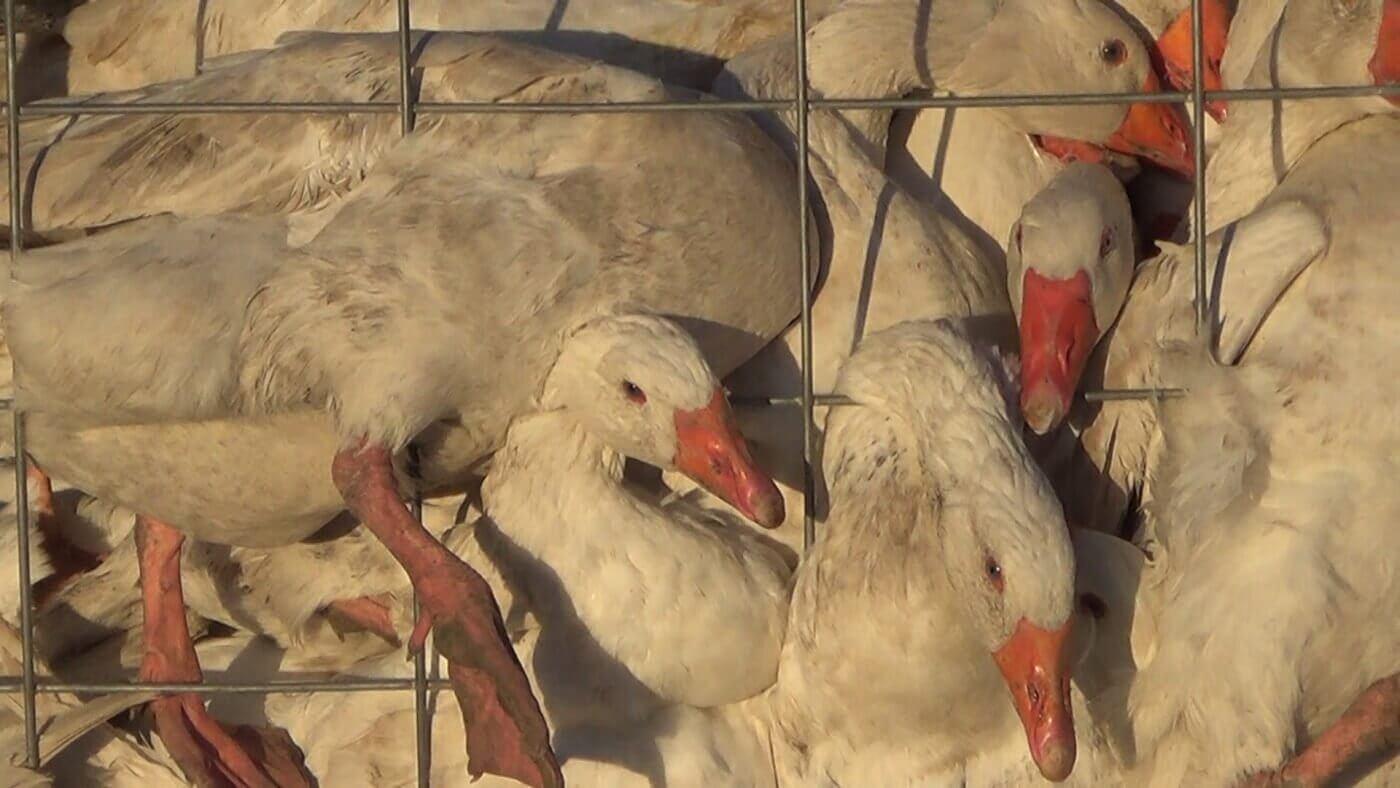 peta france canada goose