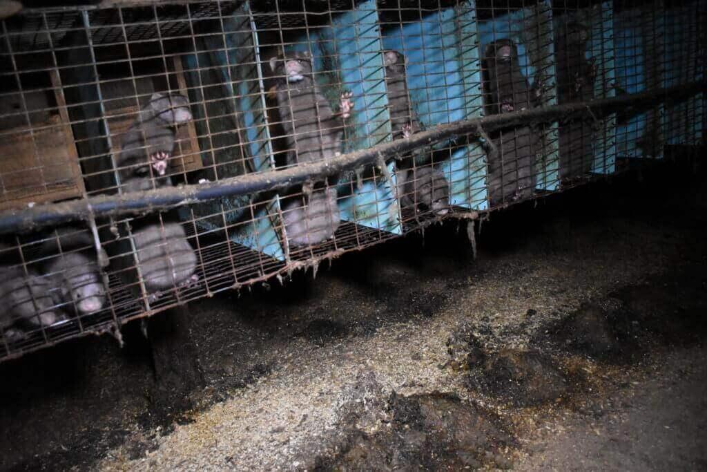 Des visons fous de détresse dans des élevages canadiens producteurs de fourrure infestés d'asticots
