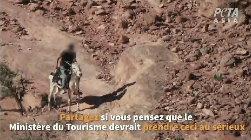 Une nouvelle enquête révèle que les animaux souffrent toujours à Petra malgré les promesses du Ministère