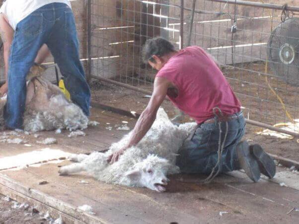 tonte chèvre mohair Afrique du Sud