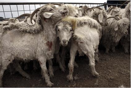 chèvres angoras tondues