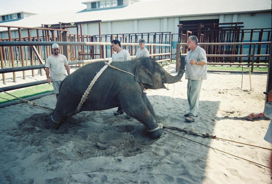 En images, la violence infligée aux éléphants pour les numéros de cirque