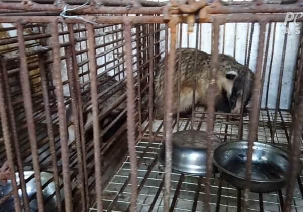 Des blaireaux enfermés dans des cages minuscules, battus et tués pour leurs poils – agissez dès maintenant !