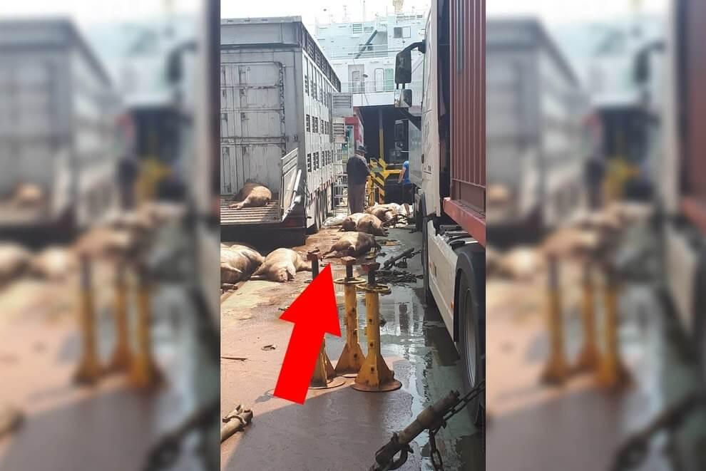 L'enfer du transport d'animaux vivants: 40 cochons jetés à la mer