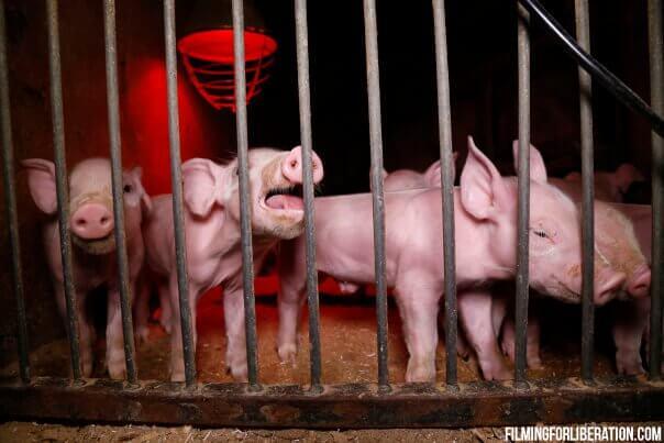 « Bien-être animal » : de « grandes mesures » très décevantes