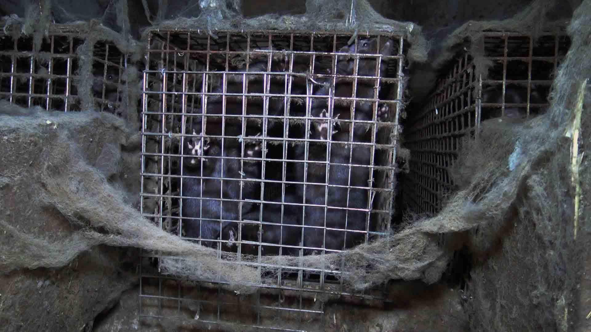 Le Jury de déontologie publicitaire donne raison à PETA contre une publicité trompeuse de l'industrie de la fourrure
