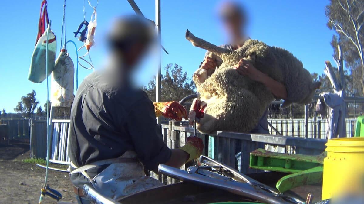Nouvelles révélations : pour la laine, des agneaux se font découper de la chair, couper et cautériser la queue par le feu et des moutons frapper au visage en Australie