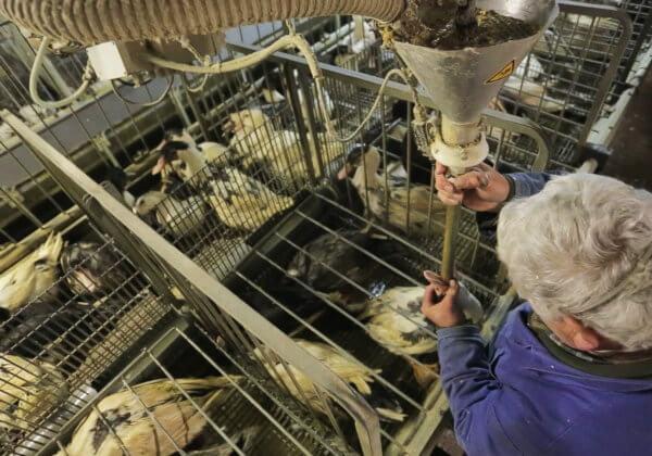 Comment agir contre le foie gras auprès des municipalités