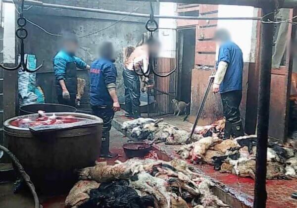 Enquête en caméra cachée : des chiens tabassés et tués dans l'industrie du cuir