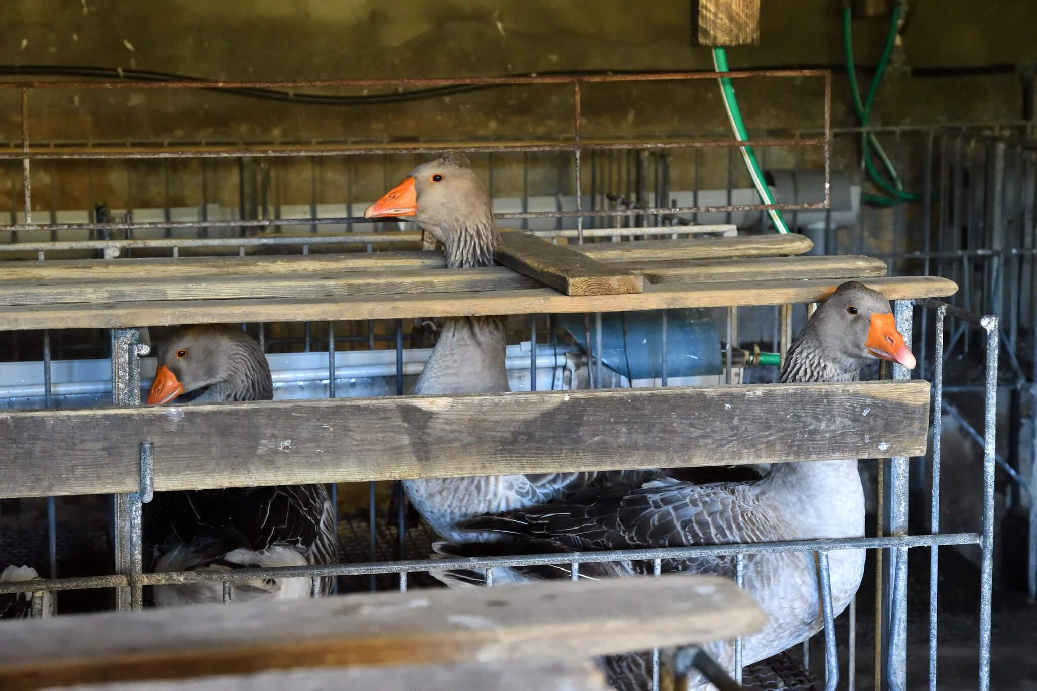 L'industrie du foie gras s'en prend à la campagne #EndTheCageAge