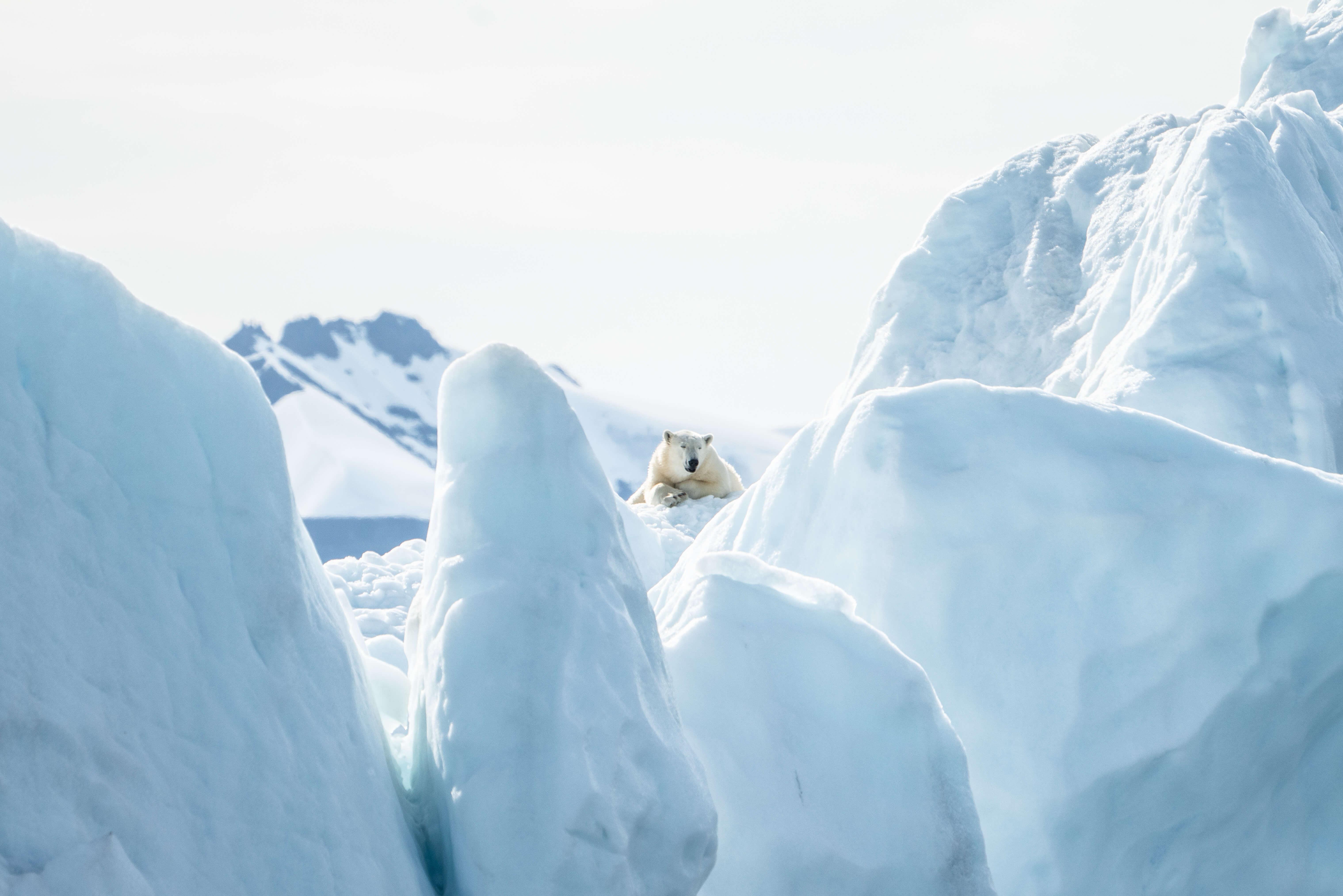Dans la nature, les ours polaires passent la plupart de leur journée à voyager.