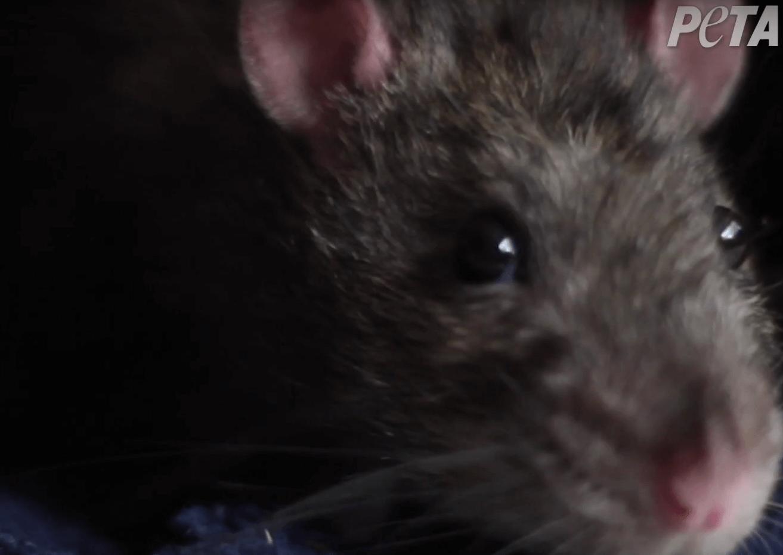 Six conseils pour sauver les animaux prisonniers de pièges à colle